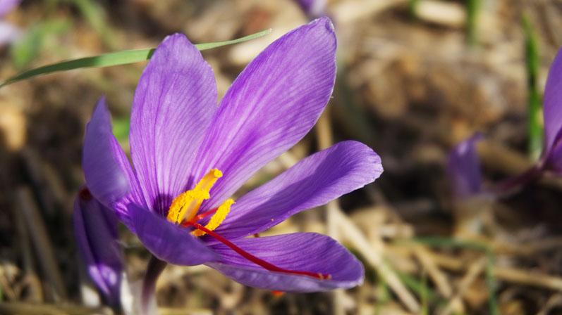 Better Sleep With Saffron